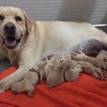 Cuccioli Labrador 2018 (2)