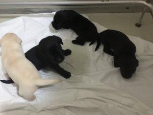 Cuccioli Labrador in vendita in veneto