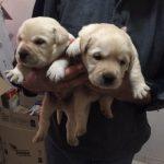 Cuccioli a 42 giorni (1)