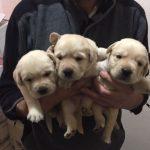 Cuccioli a 42 giorni (2)