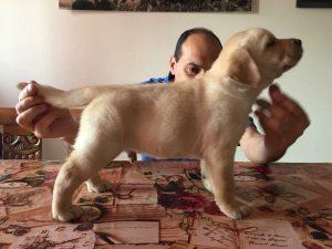 cucciolo maschio labrador vendita