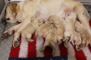 7 cuccioli disponibili 4 maschi e 3 femmine